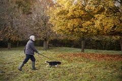 Homme supérieur prenant le chien pour la promenade en Autumn Landscape Image stock