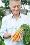 Homme supérieur sur l'attribution tenant les carottes fraîchement sélectionnées Photo stock