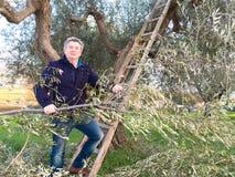 Homme sur l'olivier d'élagage d'échelle Photographie stock
