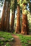 Homme trimardant sur le journal à côté de la plantation de séquoia Photos stock