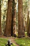 Homme trimardant sur le journal à côté de la plantation de séquoia Image libre de droits