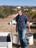 Homme volontaire travaillant à la moisson de raisin Image libre de droits