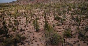 Hommel die laag rond boven verbazende Saguaro-cactusvallei vliegen in mooie de zomerwoestijn van het nationale park de V.S. van A stock video
