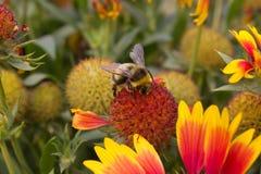 Hommel die naar nectar zoekt Royalty-vrije Stock Foto's