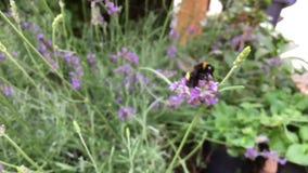 Hommel die op een lavendelbloem aan oogststuifmeel en nectar die kruipen, dan uit kader in Langzame Motie vliegen stock videobeelden
