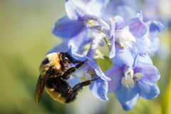 Hommel in een bloem Royalty-vrije Stock Afbeeldingen