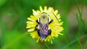 Hommel in een paardebloem, mooi uniek geel insect bovenop een bloem Royalty-vrije Stock Fotografie