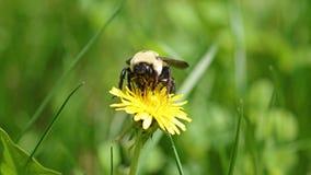 Hommel in een paardebloem, mooi uniek geel insect bovenop een bloem Stock Foto's