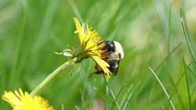 Hommel in een paardebloem, mooi uniek geel insect bovenop een bloem Stock Afbeelding