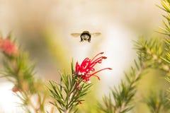 Hommel in een paardebloem, mooi uniek geel insect bovenop een bloem stock afbeeldingen
