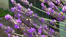 Hommel en bijen die over lavendel, zonnige dag, langzame motiemening vliegen stock video