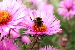Hommel en een bloem. stock foto's