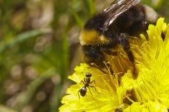 Hommel en mier samen op bloem royalty-vrije stock foto's
