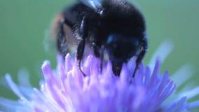 Hommel extreme dichte omhoog het eten nectar van een roze bloem stock videobeelden