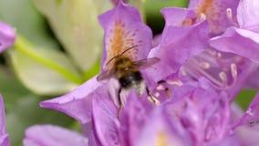 Hommel het oogsten nectar van een rododendronbloem stock videobeelden