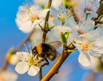 Hommel op Cherry Blossom wordt neergestreken dat stock afbeeldingen