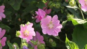 Hommel op de roze bloemen stock videobeelden