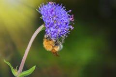 Hommel op een blauwe wilde bloem op vage achtergrond stock afbeeldingen