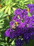 Hommel op een bloem royalty-vrije stock afbeelding