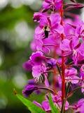 Hommel op een bloem Stock Foto