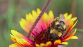 Hommel op een bloem Gaillardia stock videobeelden