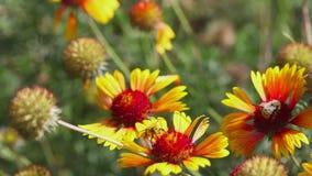 Hommel op een bloemgailardia stock footage