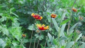 Hommel op een bloemgailardia stock videobeelden