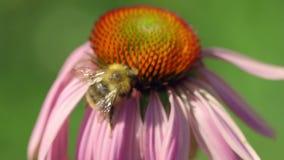 Hommel op een Echinacea-bloem stock videobeelden