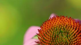 Hommel op een Echinacea-bloem stock footage