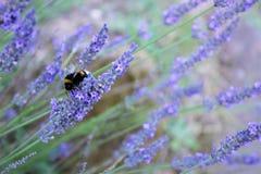 Hommel op een lavendelbloem stock foto