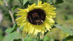 Hommel op een zonnebloem in close-up hommel het bestuiven bloemzonnebloem Close-up van een hommel op een zonnebloem Bij stock footage