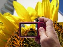 Hommel op een zonnebloembeeldzoeker in camera Royalty-vrije Stock Foto's