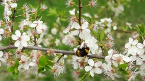 Hommel op kersenboom stock video