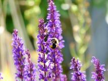 Hommel op Lavendel Royalty-vrije Stock Afbeeldingen