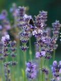 Hommel op Lavendel Stock Foto