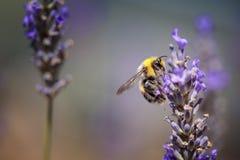 Hommel op Mooie Lavendel die in de vroege zomer bloeien stock afbeeldingen