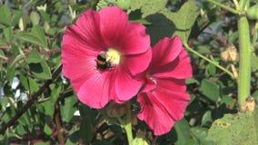 Hommel op mooie roze bloem stock footage
