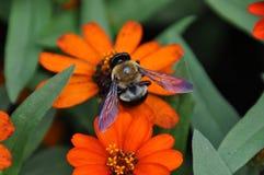 Hommel op oranje bloem stock afbeelding