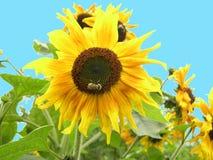 Hommel op zonnebloem Stock Fotografie