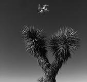 Hommel over Joshua Tree Stock Afbeeldingen