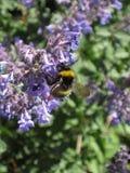 Hommel in purpere bloemen en zonlicht 19 stock afbeelding