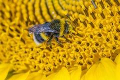 Hommel in stuifmeel op een wilde bloem wordt behandeld die Royalty-vrije Stock Foto