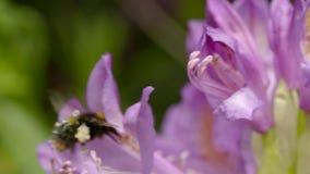 Hommel in stuifmeel wordt behandeld die rond een roze bloem vliegen die stock video