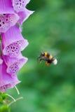 Hommel tijdens de vlucht dichtbij een bloem van vingerhoedskruid Stock Afbeeldingen