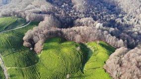 Hommel van hoogste mening over groene theeaanplanting wordt geschoten in de herfst die stock footage