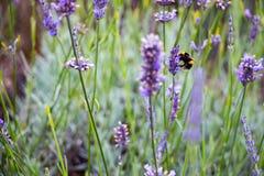 Hommels bij het Mayfield-Lavendellandbouwbedrijf Stock Fotografie