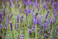 Hommels bij het Mayfield-Lavendellandbouwbedrijf Royalty-vrije Stock Foto