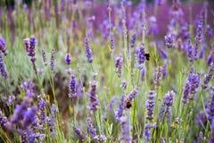 Hommels bij het Mayfield-Lavendellandbouwbedrijf Royalty-vrije Stock Afbeelding