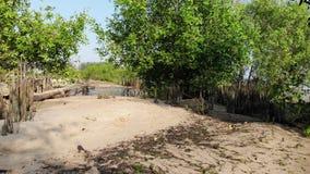 Hommelstart en beweging vooruit met driepootwijze dichtbij mangrove bosstrand bij Songkhla-meer in Thailand stock footage