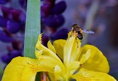 Hommelvlieg op een geel lis Stock Foto